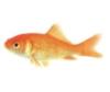 Goldie the Goldfish.